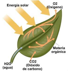 Resultado de imagen de La respiración fotosintética