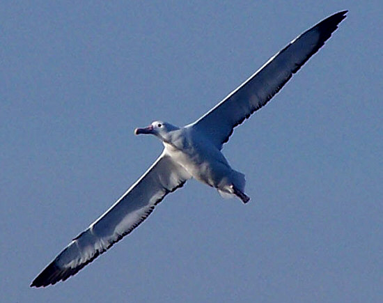 Resultado de imagen para albatros de ceja negra